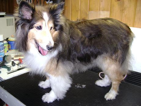 Bailey - Before - Shetland Sheepdog